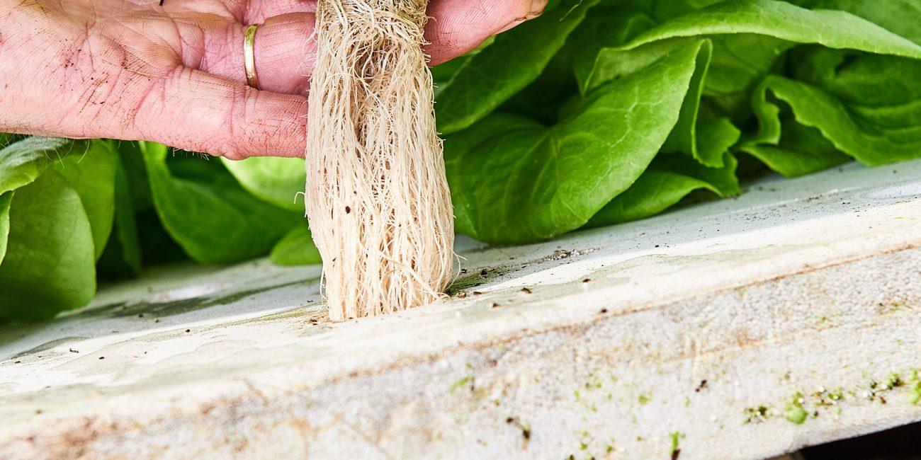 growcoon in hydroponics